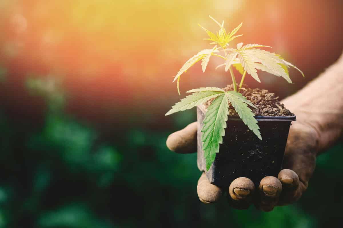 Growing Marijuana Seeds for the Beginners