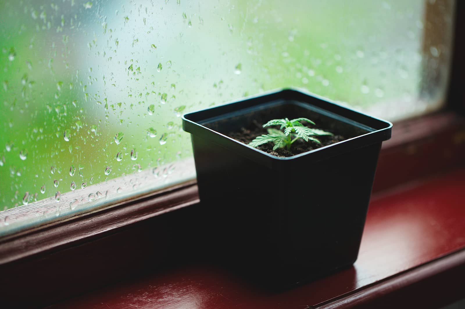 Knowing the Germination Process of Marijuana Seeds