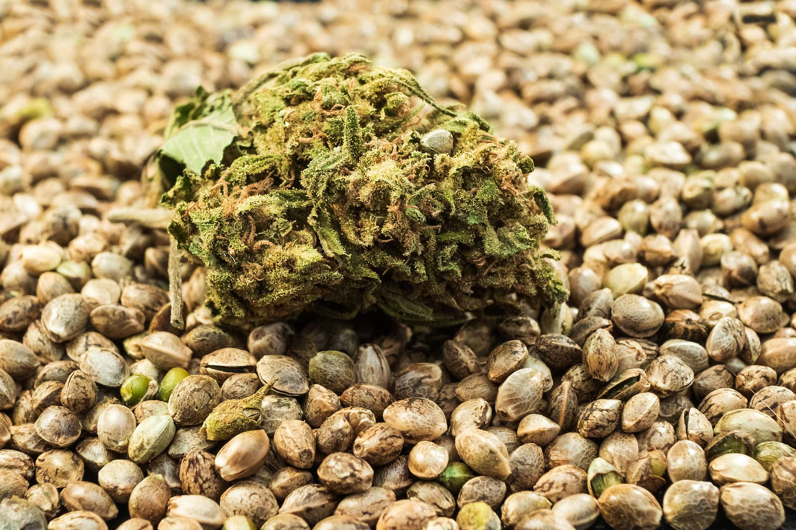 Cannabis Seeds for Sale and to Buy in St. Johns