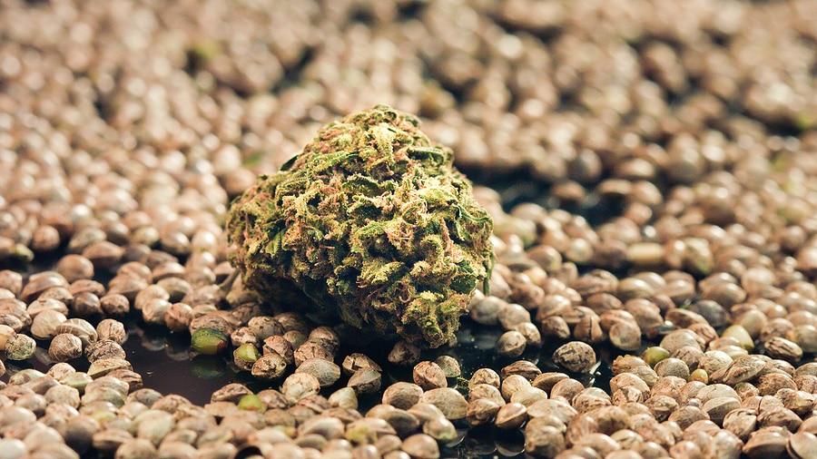 Affordable Marijuana Seeds
