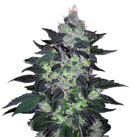 candy cane autoflower