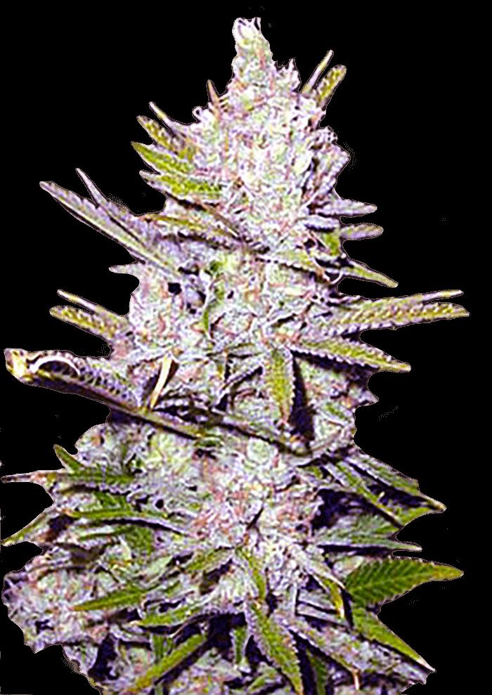 Haze Xtreme Regular Marijuana Seeds