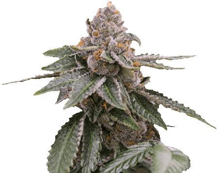 White Widow Autoflower Marijuana Seeds