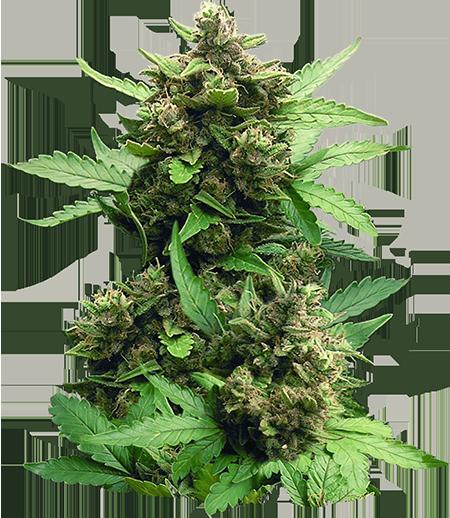 CB Autoflower Cheese Marijuana Seeds