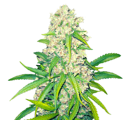 super silver haze feminized