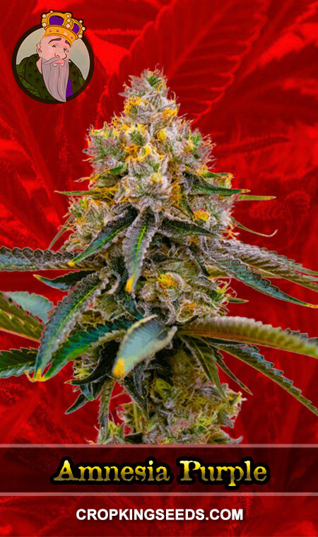 Amnesia Purple Feminized Marijuana Seeds