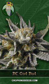 BC God Bud Regular Marijuana Seeds