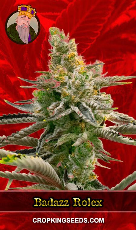 Badazz Rolex Feminized Marijuana Seeds