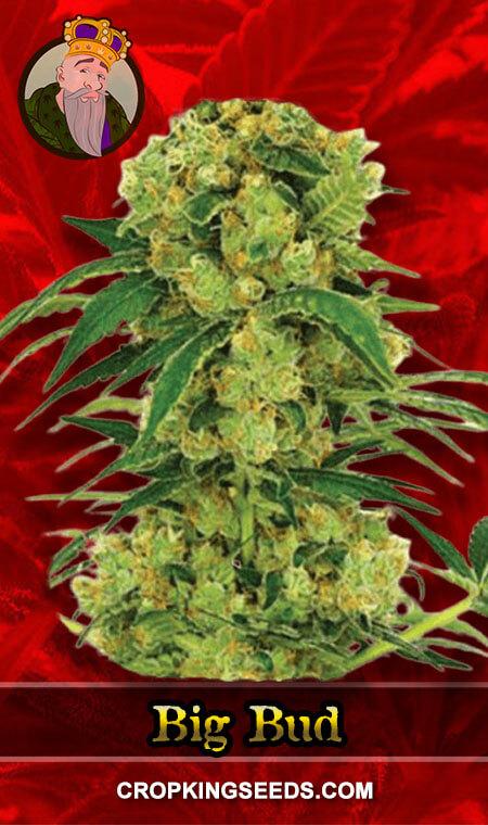 Big Bud Fast Version Feminized Marijuana Seeds