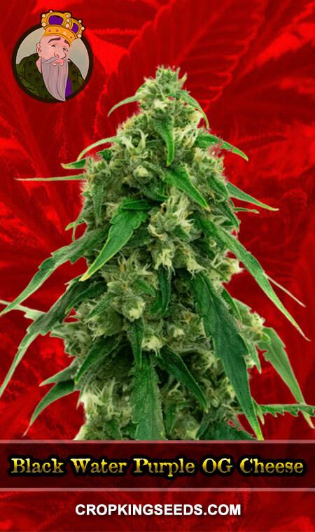 Black Water Purple OG Cheese Feminized Marijuana Seeds