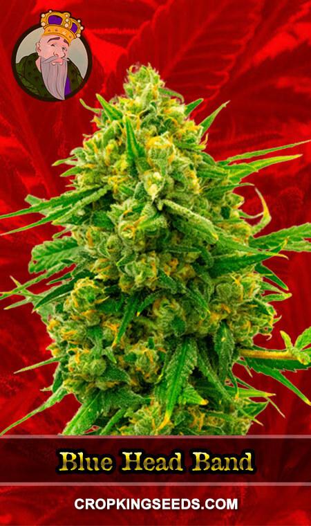 Blue Head Band Feminized Marijuana Seeds