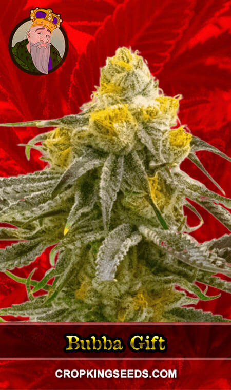 Bubba Gift Feminized Marijuana Seeds
