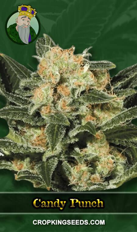 Candy Punch Regular Marijuana Seeds