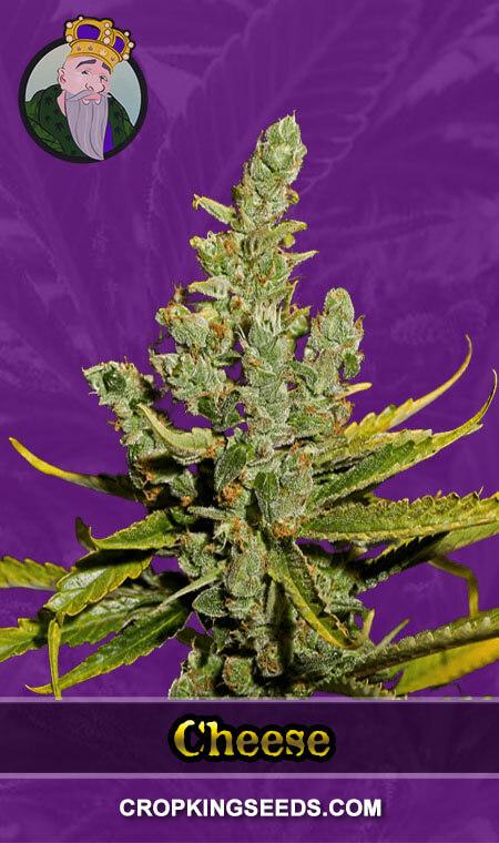 Cheese Autoflower Marijuana Seeds
