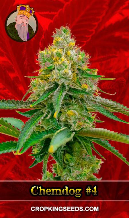 Chemdog#4 Feminized Marijuana Seeds