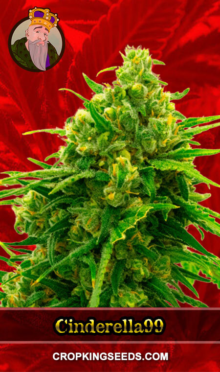 Cinderella99 Feminized Marijuana Seeds