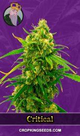 Critical Autoflower Marijuana Seeds