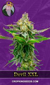 Devil XXL Autoflower Marijuana Seeds