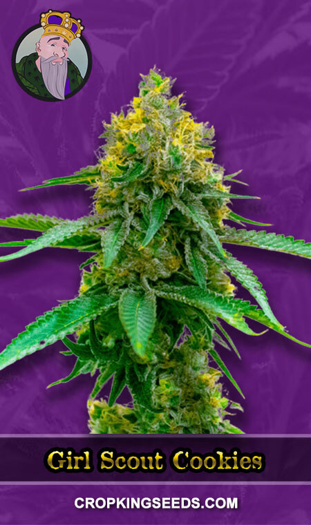 Girl Scout Cookies Autoflower Marijuana Seeds