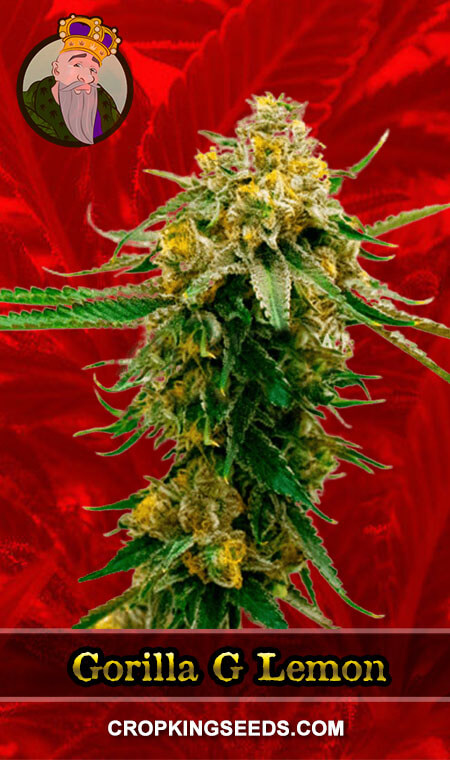 Gorilla G Lemon Feminized Marijuana Seeds
