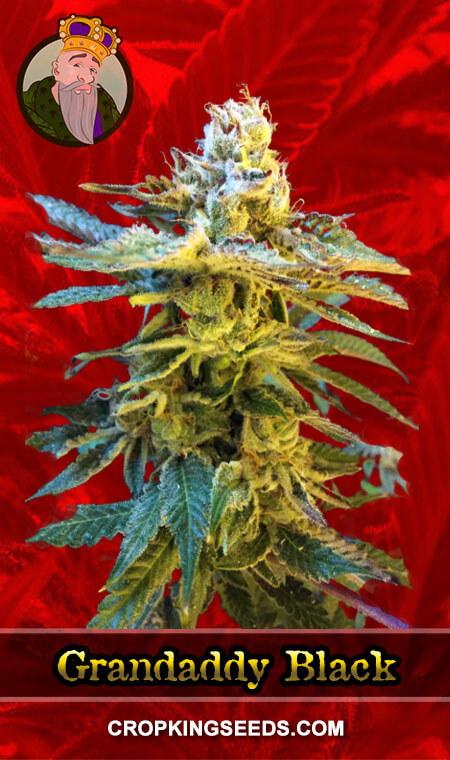 Grandaddy Black Feminized Marijuana Seeds