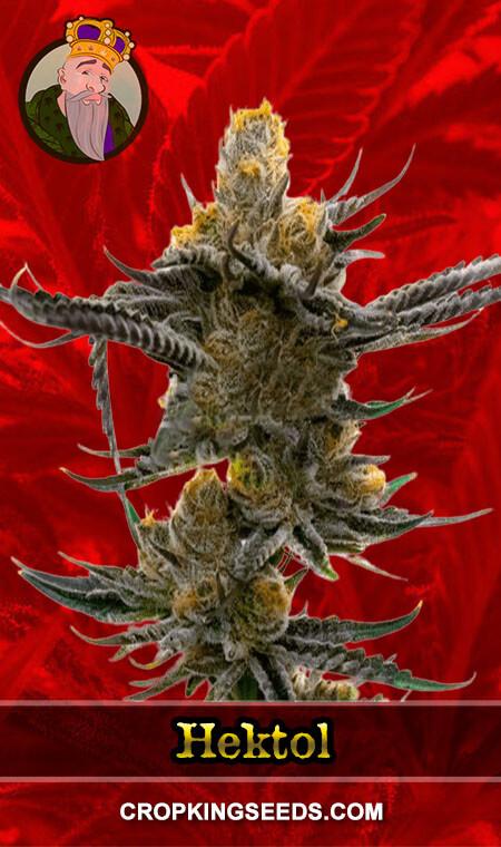 Hektol Feminized Marijuana Seeds