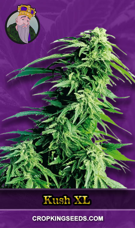 Kush XL Autoflower Marijuana Seeds