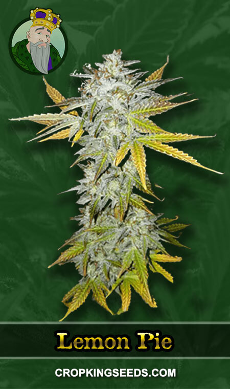 Lemon Pie Regular Marijuana Seeds