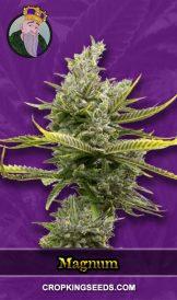 magnum autoflower marijuana seeds