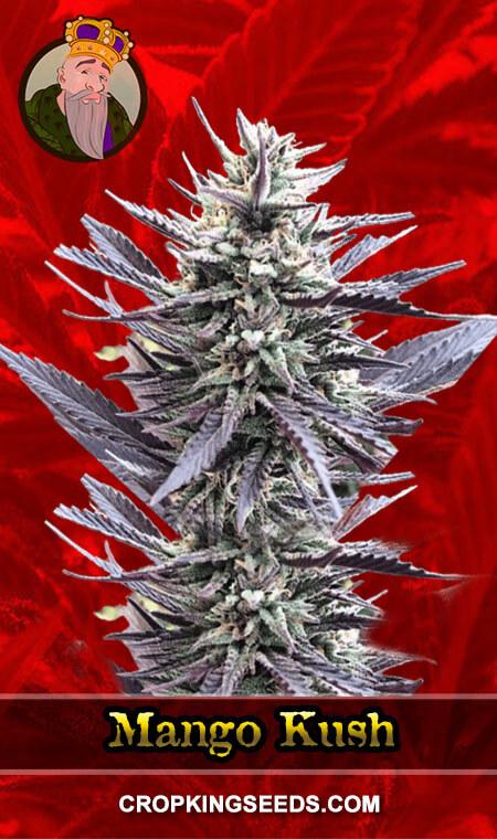 Mango Kush Feminized Marijuana Seeds