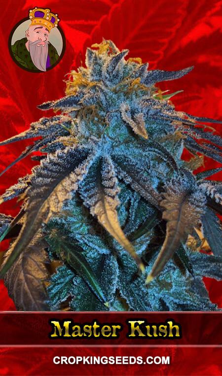 Master Kush Feminized Marijuana Seeds