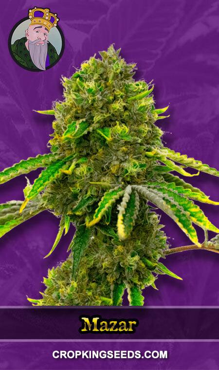 Mazar Autoflower Marijuana Seeds