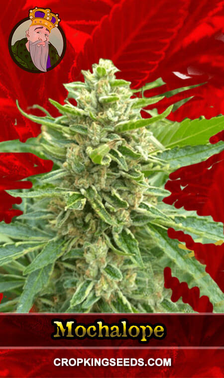 Mochalope Feminized Marijuana Seeds