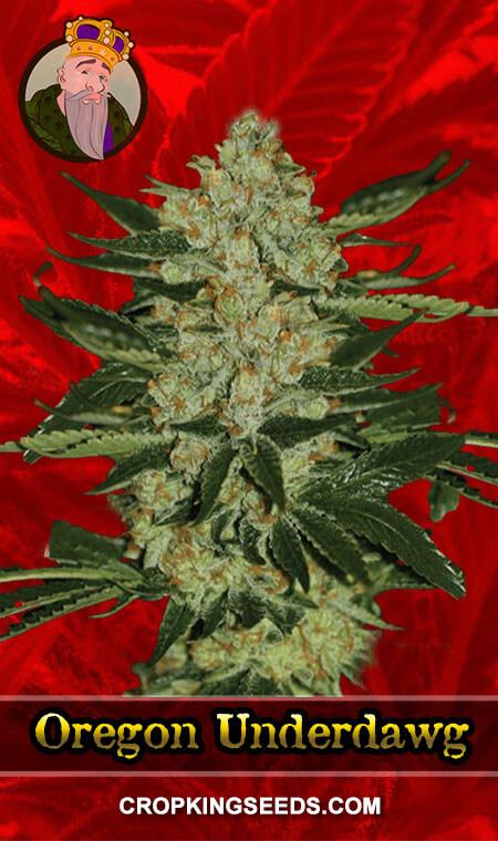 Oregon Underdawg Feminized Marijuana Seeds