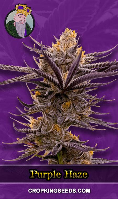 Purple Haze Autoflower Marijuana Seeds