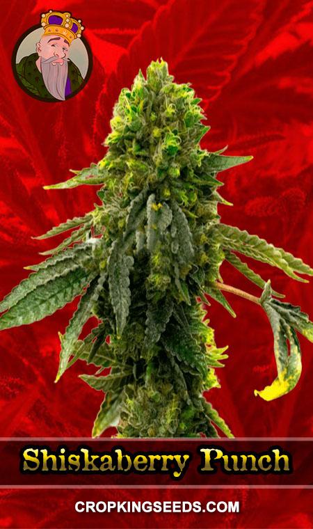 Shiskaberry Punch Feminized Marijuana Seeds