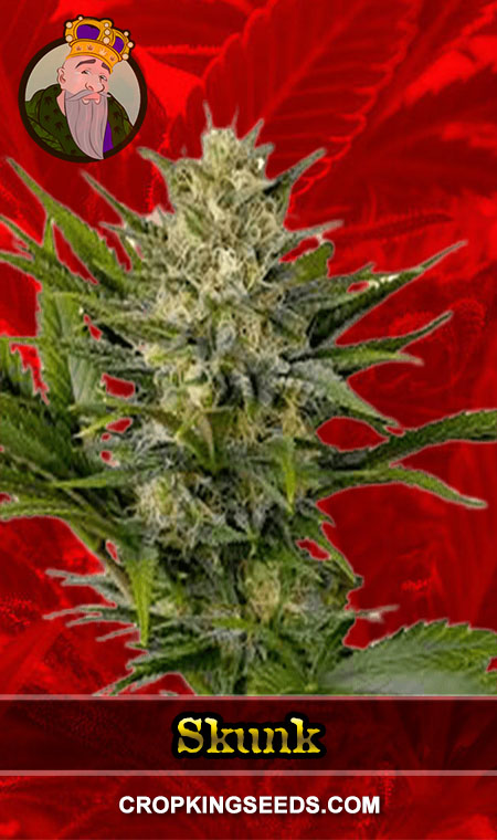 Skunk Feminized Marijuana Seeds
