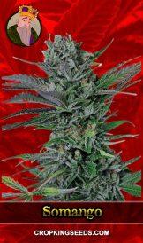 Somango Feminized Marijuana Seeds