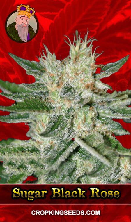 Black Rose Feminized Marijuana Seeds