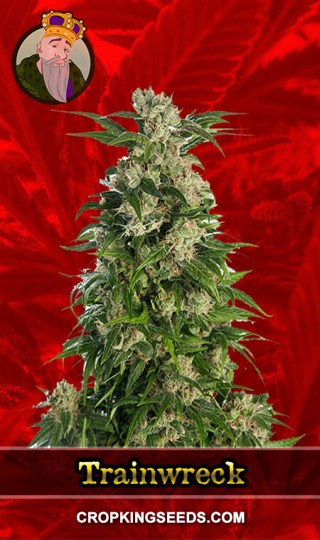 Trainwreck Feminized Marijuana Seeds