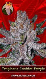 Tropicana Cookies Purple Feminized Marijuana Seeds