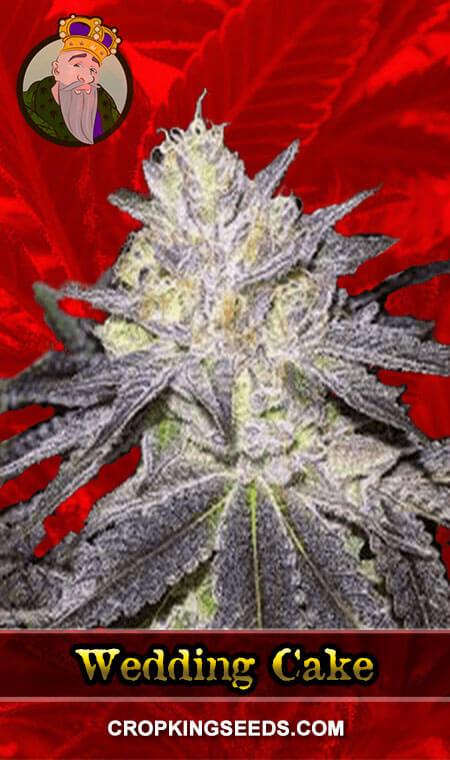 Wedding Cake Feminized Marijuana Seeds