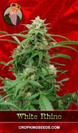 White Rhino Feminized Marijuana Seeds
