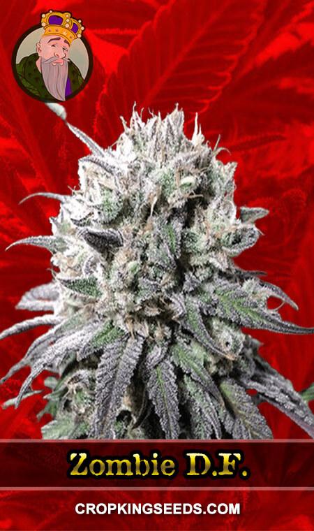 Zombie D.F. Feminized Marijuana Seeds
