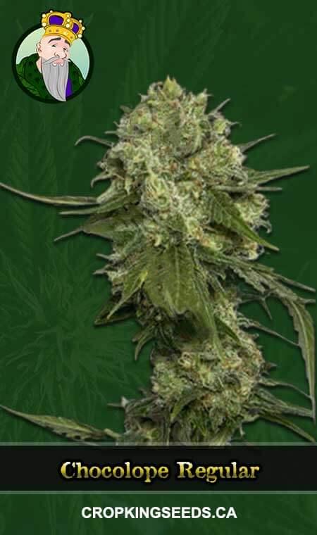 Chocolope Regular Marijuana Seeds