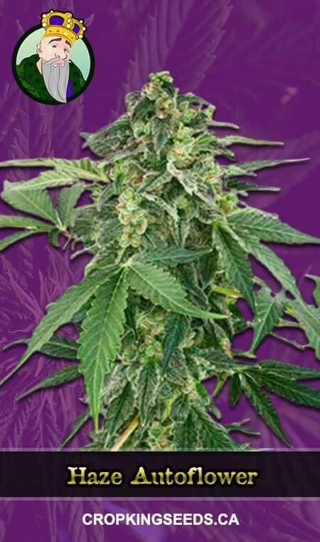 Haze Autoflower Marijuana Seeds