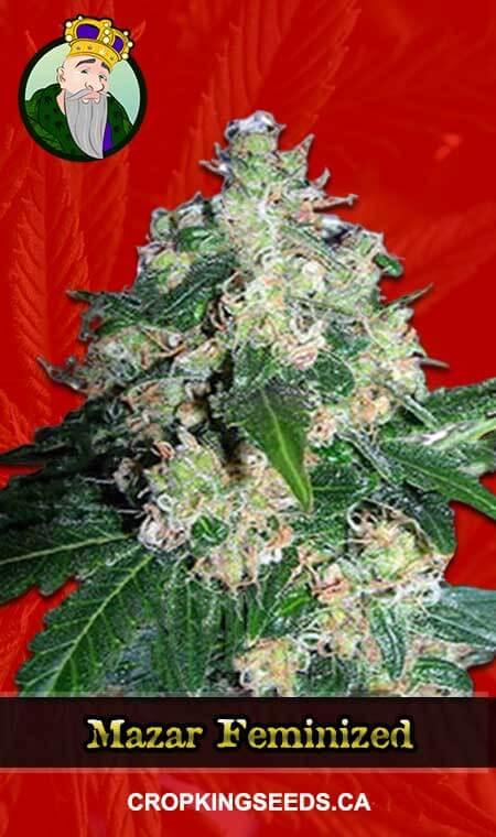 Mazar Feminized Marijuana Seeds