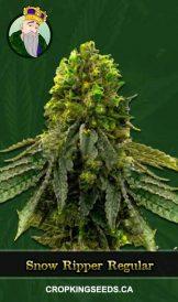 Snow Ripper Regular Marijuana Seeds