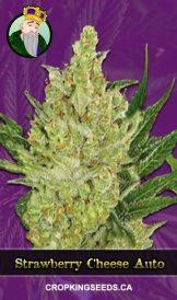Strawberry Cheese Autoflowering Marijuana Seeds