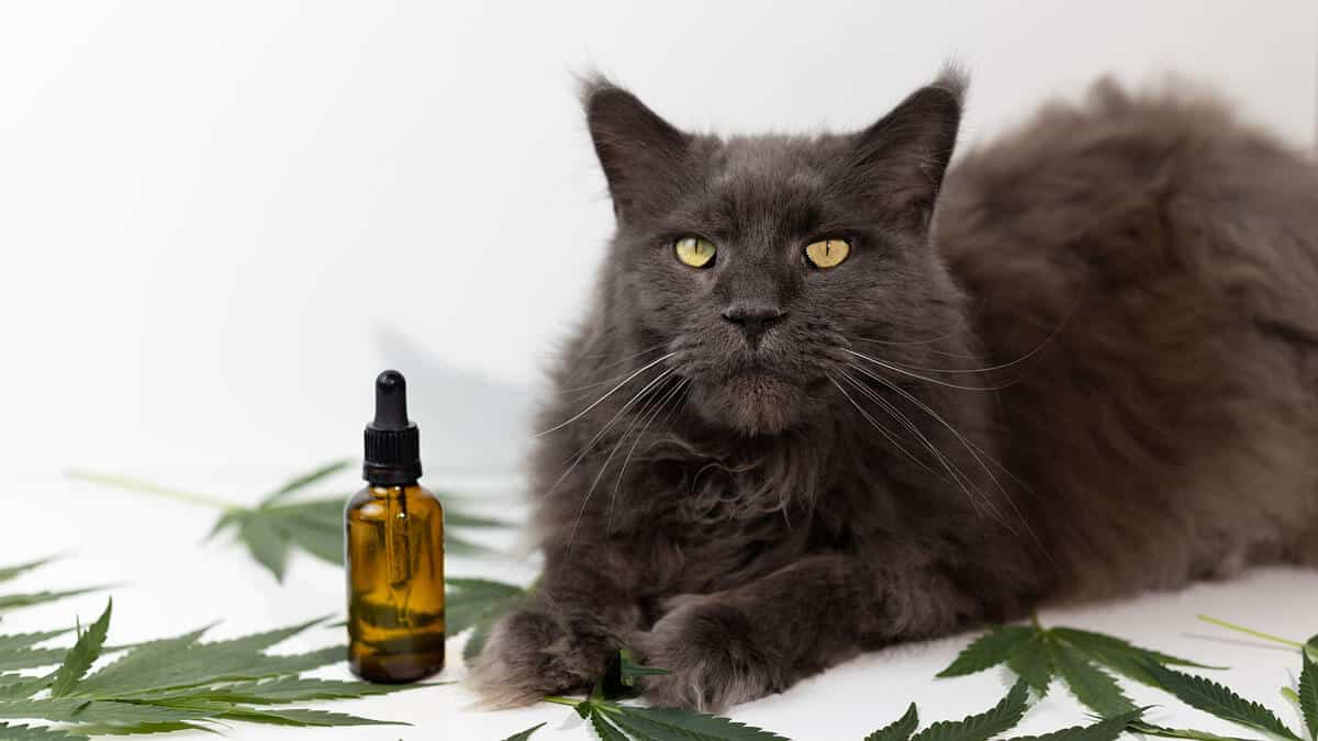 CBD for Cats: Is it a Good Idea?